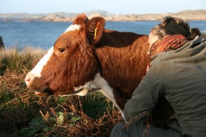 Cow Cuddeling